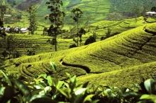 Čajové plantáže na Cejlonu